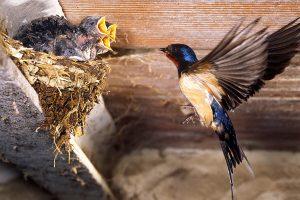 rondine comune ritorno al nido hirundo rustica modena emilia romagna