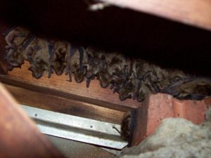 Bat Removal from Attic Maryland