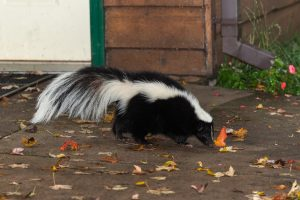Striped Skunk (Mephitis mephitis) Walks Near Home - captive animal