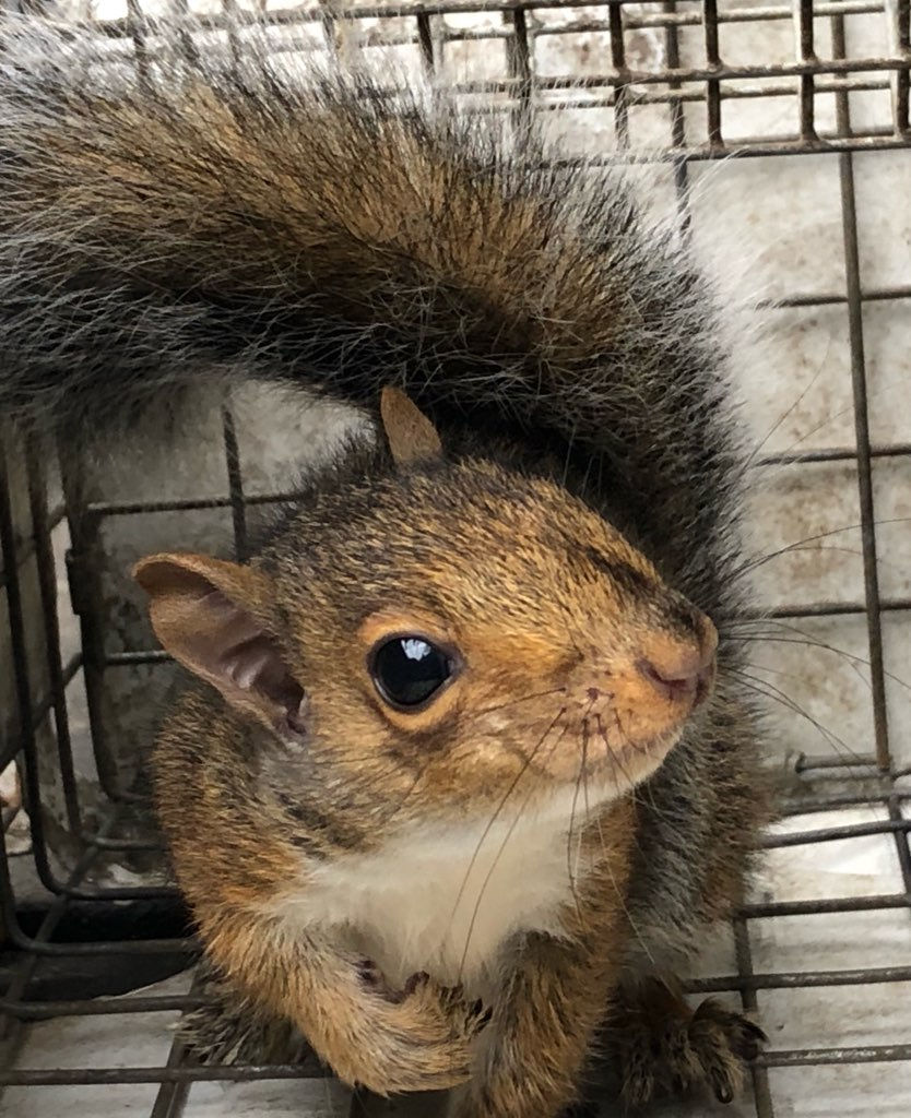 News Blog Wildlife Trapping Md Dc Va Squirrel Removal