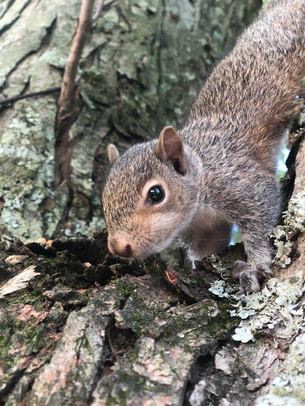Squirrels in Laurel, MD Attic   Trappro