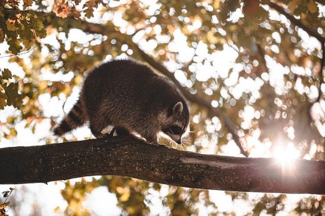 raccoon in attic elkridge, md