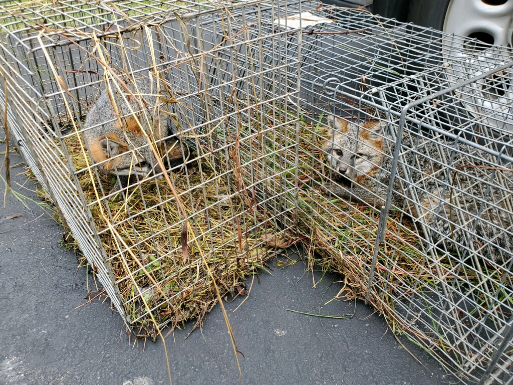 fox trapping towson, md