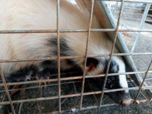 skunk trapping maryland